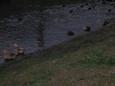 越冬の鴨たち