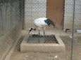 タンチョウヅル