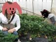 イチゴ探す人々