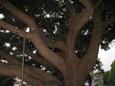 立派な木2