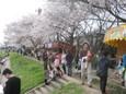 運河の花見2
