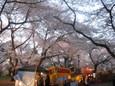 大宮公園でお花見1