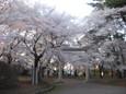 大宮公園でお花見2