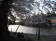 大宮公園でお花見3