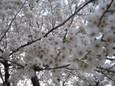 大宮公園でお花見4