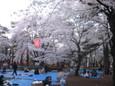 大宮公園でお花見5
