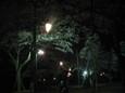 清水公園の夜桜1
