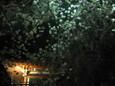 清水公園の夜桜4
