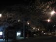 清水公園の夜桜5