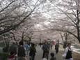 大宮公園のお花見1