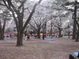 大宮公園のお花見3
