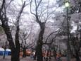 大宮公園のお花見4