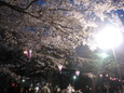 大宮公園のお花見5