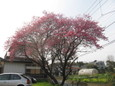 近所の桜?