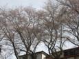 運河の桜2